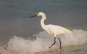 Heron wading in the waves